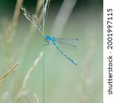 A Number Of Azure Damselfly ...