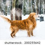furry red retriever in the snow ... | Shutterstock . vector #200255642