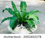 Plant Asplenium Nidus Or Bird's ...