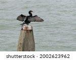 A Cormorant  Phalacrocorax...
