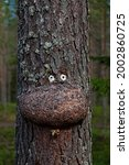 A Tree With Deformity That Has...
