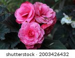Tuberous Begonias Are A Group...