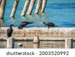 Two Cormorants Are Pulling A...