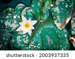 Flat Lay Of Water Lily And...
