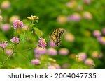 Lantana Flowers And Swallowtail ...