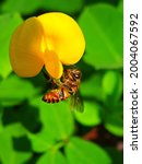 The Yellow Flowers Of Arachis...