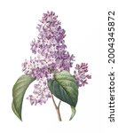Vintage drawn illustration of Lilac free download shutterstock perfect for fabrics, t-shirts, mugs, decals, pillows, logo, pattern and much more!