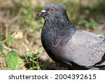 Close Up Of Head Of Rock Dove...