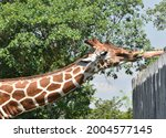 Adult Giraffe Reaching Neck Out ...