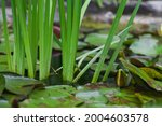 Flat Green Leaves Of Reeds Grow ...