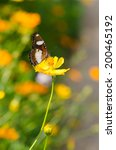 a butterfly on yellow cosmos