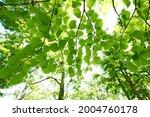 fresh green trees and sunbeams   Shutterstock . vector #2004760178