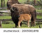 Usa  Wyoming  Yellowstone...