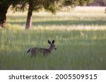 Young Blacktail Doe In ...