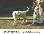 Labrador Retriever White Dog On ...