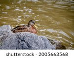 Mallard Duck. Anas...