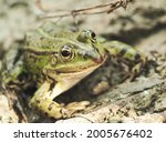 A Green Frog On The Grey Ground ...