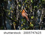 Small photo of Cardinal at Lynde Shores Conservation Area Ajax Ontario