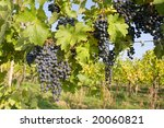 bunch of ripe grapes on... | Shutterstock . vector #20060821