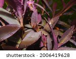 A Beautiful Purple Queen Plant...