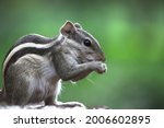 The Indian Palm Squirrel Also...