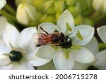Bee With Delicate Wings On A...