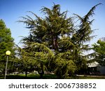 Very Old And High Tree  Thuja...