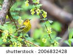 Cape May Warbler Perched In...