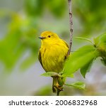 American Yellow Warbler Perched ...