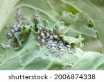 Grey Cabbage Aphids On Kale...