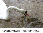 Goose With Carp Fish In Natural ...