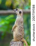 meerkat standing on guard | Shutterstock . vector #200759588
