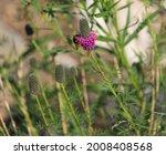 Purple Prairie Clover With Wild ...