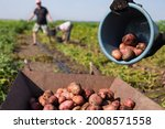 High Crop Potatoes In Eco...