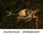 Corpse Of A Dead Deer ...
