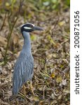 Small photo of Yellow-crowned Night Heron (Nyctanassa violacea) in a swamp. Brazos Bend State Park, Needville, Texas, USA.