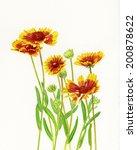 Blanket Flowers. Watercolor...