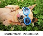 Stock photo a cute chihuahua wearing goggles in the grass with his tongue out 200888855