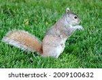 A Cute Eastern Gray Squirrel In ...