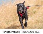 Running Labrador Retriever ...