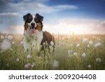 Australian Shepherd Dog On The...