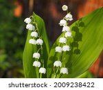 Convallaria Blossoms Close Up....
