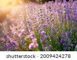 lavender flowers sunset over a... | Shutterstock . vector #2009424278