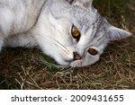 Adult Gray Scottish Breed Cat...