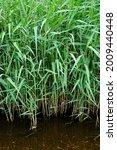 Green Reeds Growing In Water...