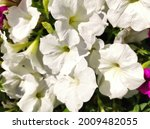 Large White Petunia  A Species...