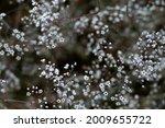 White flowers of gypsophila....