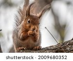 The Squirrel With Nut Sits On A ...