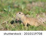 Ground Squirrel Spermophilus...
