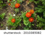 Orange Flowers  Marigolds . In...